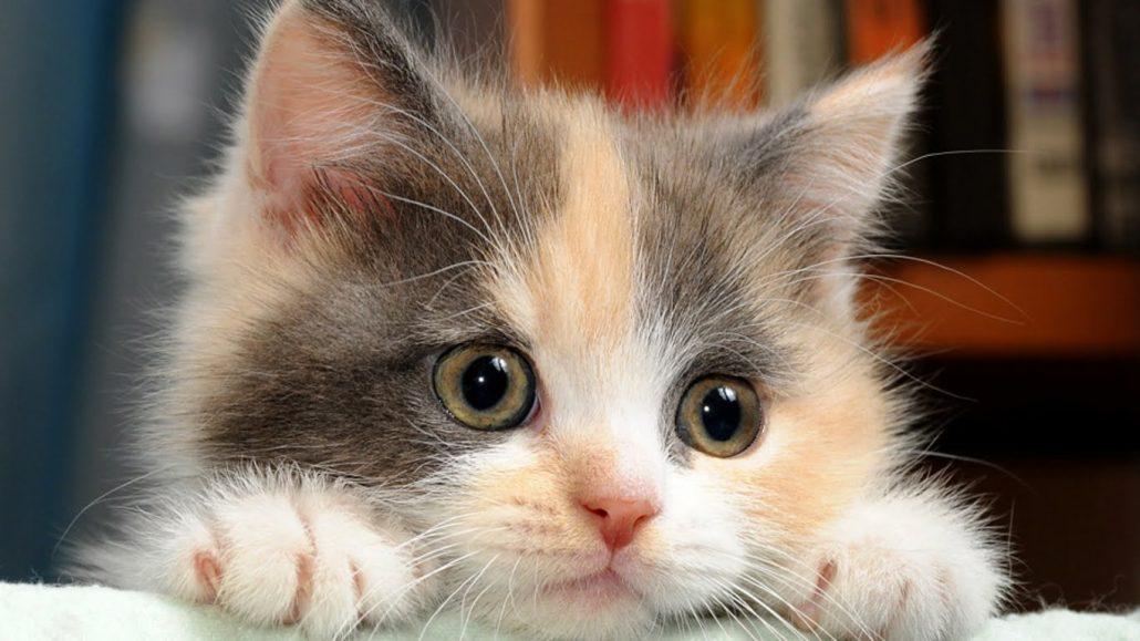 cat-kucing-meong